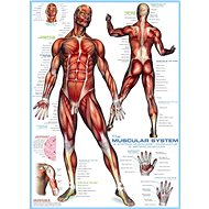 Eurographics Puzzle Muscular system of 1000 pieces - Puzzle
